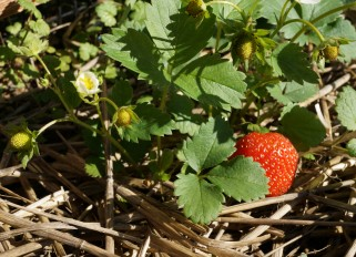 How to choose and store strawberries