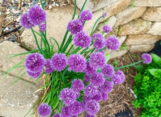 My garden in May, chives