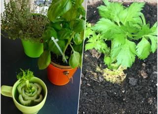 Tip for celery