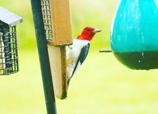 Red- headed woodpecker