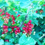 Summer in Minnesota, currant