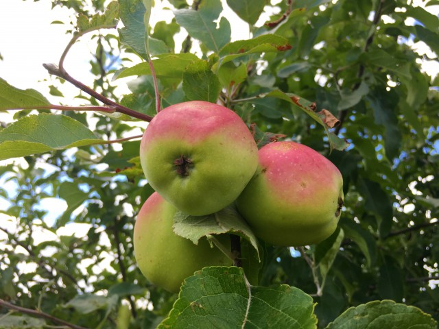 Summer in Minnesota, apples